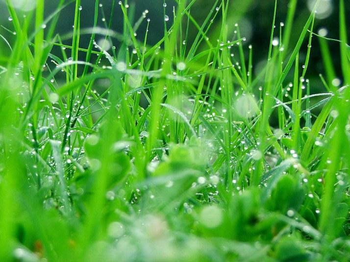 kỹ thuật  nuôi dế mèn -cỏ non  thức ăn cho dế mèn