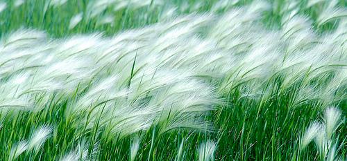 kỹ thuật  nuôi dế mèn -cỏ non  thức ăn của dế mèn