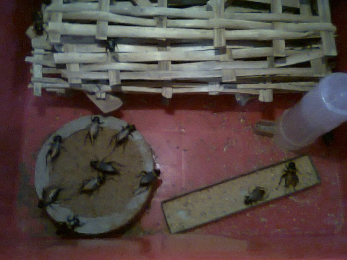 Kỹ thuật nuôi dế mèn - cách nuôi dế từ 15 ngày đến thu hoạch