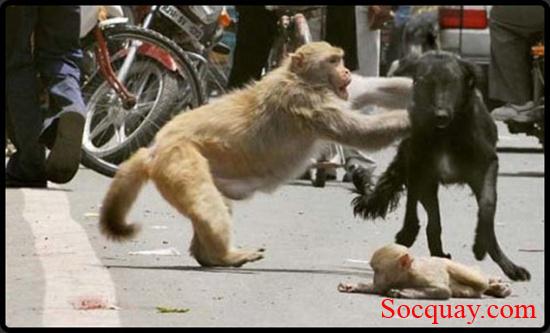 Khỉ mẹ chiến đấu với chó bảo vệ khỉ con