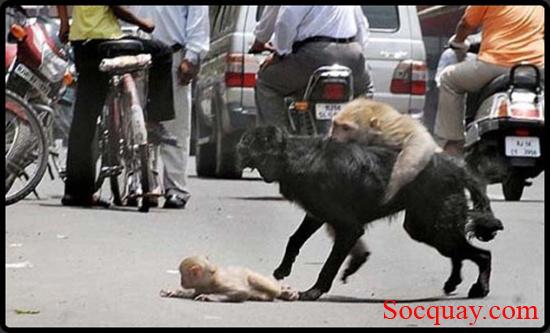 Khỉ mẹ chiến đấu với chó bảo vệ khỉ con - cuộc chiến quyết liệt