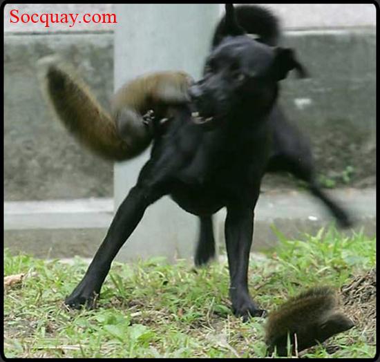 Chú Sóc nhỏ gặp nguy hiểm, và Sóc Mẹ can thiệp ngay - cuộc chiến quyết liệt